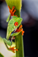 Red Eyed Tree Frog 2