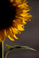 Sunflower Glow VI