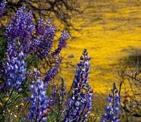 Lupine with Yellow Carpet